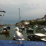 An obliging Seagull posing in front of a view of Brixham Harbour.