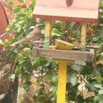 Sabiá e outros pássaros fazem desjejum na pousada
