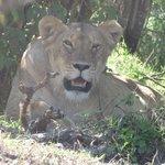 Safari photo masaï mara