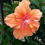 Beautiful hibiscus right outside the front door