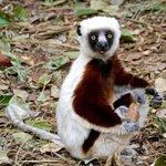 Don't look, Lemur business!