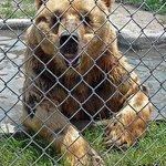 Kodiak bear taking a refreshing dip in his private pool