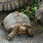 Tortoises having lunch