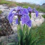 Irises along the Lighthouse Trail