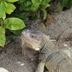 Iguanas at the pool area, so beautiful