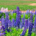 The lupins of PEI