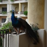 peacock on our patio