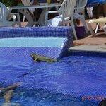 lizard swimming in pool