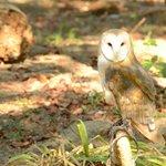Rehabilitated Owl