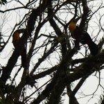 Natureza - Tucanos