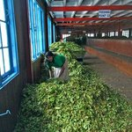 Чайная фабрика