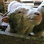 Sweet Sheep Slate Run Historical Farm