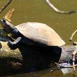 Schildkröte am See Tres Chimbadas