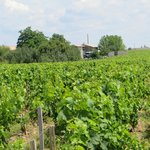 Grapevines in the Medoc region