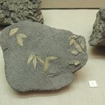 Fossilized olive leaves, 60,000 years old!