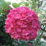 One of Hundreds of Beautiful Hydrangeas
