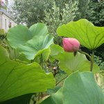 A small garden pond contains these wonderful lotus flowers