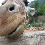 Feeding giraffes at the Cheyenne Mountain Zoo.