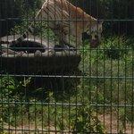 Tiger feed