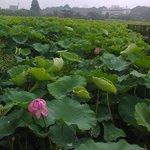 Los lirios miden 1.50 metros en el Parque Ueno
