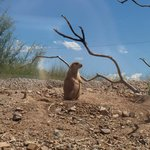 Prairie dog on the look-out