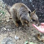 Feeding a rock wallaby