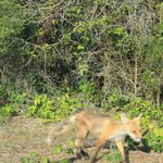 if you are lucky you will see these cute red foxes cross the road