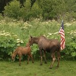 resident moose and calf celebrating the 4th of July