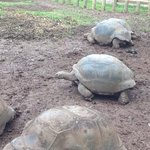 the tortoises were scratched and dirty compared to shiny ones at the botanical gardens