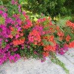 bougainvilliers greffés:magnifiques jardins...