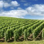 Reims Champagne vineyards