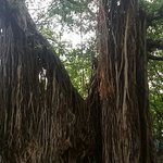 Banyan tree before the entrance to the Pataleshwar Cave. Photo by Dhairyashil.