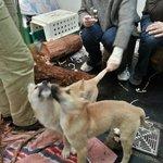 Dingo Puppies!