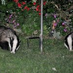 Badgers regularly visit the garden at night