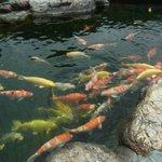 庭園の池の見事な鯉