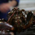 Frische Lobster