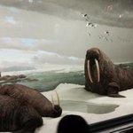 walrus'