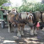 Horse drawn carriage rides available