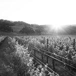 Vineyards in the morning sun.