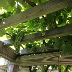 Grapes on the Arbor leading to the outdoor patio
