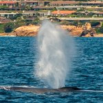Blue whale off the southern Orange County Coast