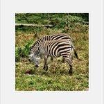 Some Zebra on tour