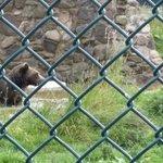 European Brown Bear.