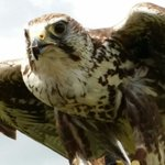 One of the Falcons at the bird of prey display.