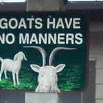 Love the goats!