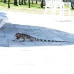 Iguana passeando