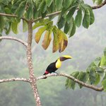 Black Mandibled Toucan in tree across from dining area