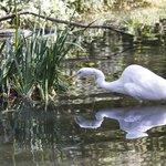 Egret stalking fish