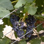 Grapes in Verde Valley - Page Springs