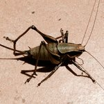 You will see lots of these crickets around this hotel